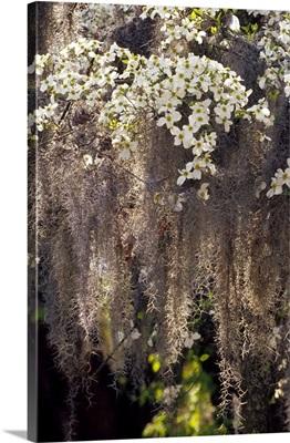 Spanish moss hanging from flowering dogwood