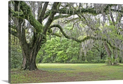 Spanish moss in oak trees at Alfred Maclay Gardens State Park Tallahassee, Florida