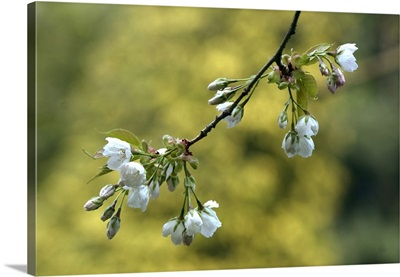 Spring Blossoms on a Tree Branch