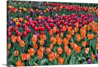 Spring Tulip Garden In Full Bloom, Skagit Valley, Washington State