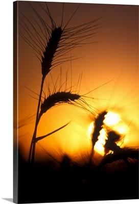Sun creates silhouettes of wheat plants at sunset
