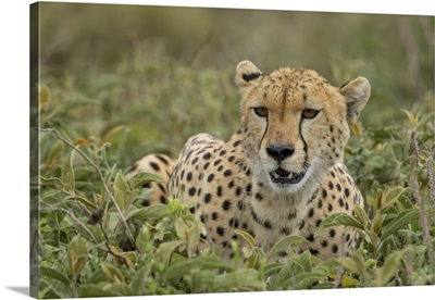 Tanzania, Adult Cheetah Catches Its Breath After Chasing Down Wildebeest On Ndutu Plains