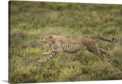 Tanzania, Cheetah Begins Running While Chasing Down Wildebeest Calf On Ndutu Plains