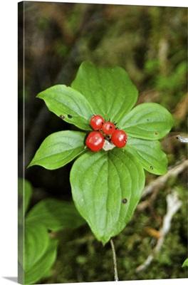 Temperate Rainforest Berries, Bramham Island, British Columbia, Canada