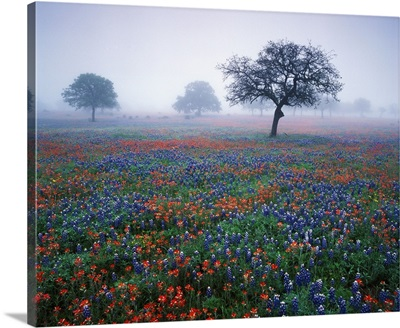 Texas, Hill Country, View of Texas paintbrush and bluebonnets at dawn