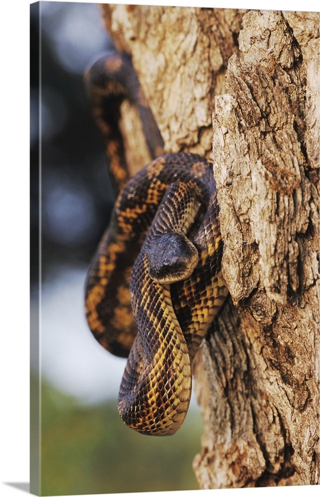 Texas Rat Snake, Elaphe obsoleta lindheimeri, adult, Lake Corpus Christi,  Texas