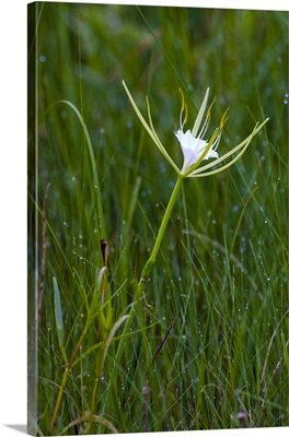 The fragrant alligator lily
