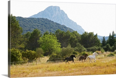 The Pic St Loup Mountain Top Peak, Languedoc. Horses Running Free In A Field, France
