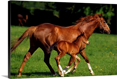 Thoroughbred Chestnut Mare & Foal, Ireland