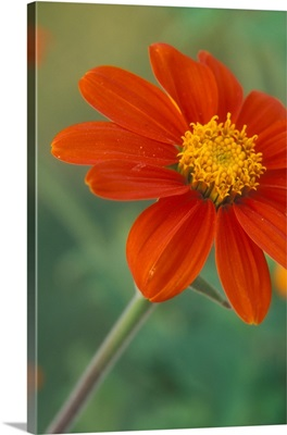 Tithonia blossoms with water droplets