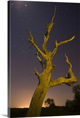 Tree, stars, and nightfall, Coastal Bend, Texas
