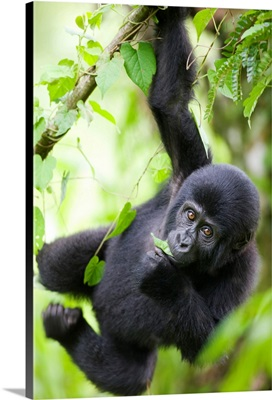 Uganda, Bwindi Impenetrable National Park, Baby Mountain Gorilla