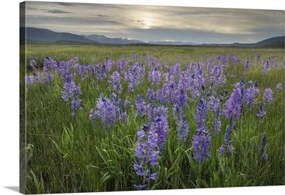 USA, Idaho, Meadows Of Common Camas, Stanley Basin Sawtooth Mountains
