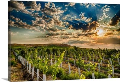 USA, Washington State, Yakima Valley, Sunrise On A Red Mountain Vineyard
