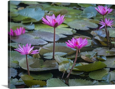 Vietnam, Mui Ne, Pink Water Lilies