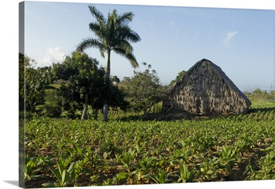 Vinales, Cuba. Tobacco farm