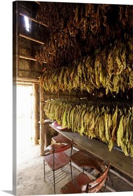 Vinales, Cuba. Tobacco farm, leaves drying
