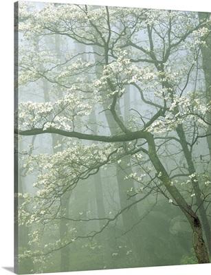 Virginia, Shenandoah National Park, flowering Dogwood in foggy forest