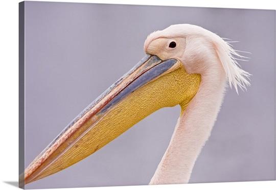 Walvis Bay, Namibia. Head shot of Eastern White Pelican Wall Art ...