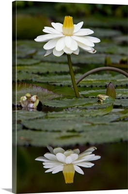 Water lilies, of the genus Nymphaea, are aquatic plants found world-wide