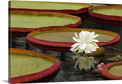 Water lily and lily pad pond, Longwood Gardens, Pennsylvania