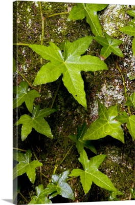 Western red cedar, Thuja plicata, Stanley Park, British Columbia, Canada