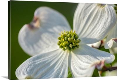 White Dogwood Flowers, USA