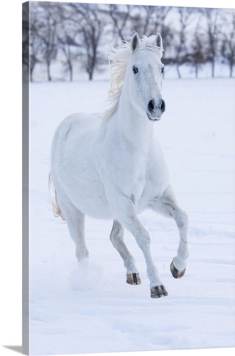 White Horse Running In The Snow Cowboy Horse Drive On Hideout Ranch Shell Wyoming Wall Art Canvas Prints Framed Prints Wall Peels Great Big Canvas
