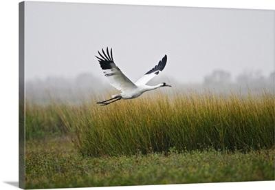 Whooping Crane flying over salt marsh at Aransas National Wildlife Refuge