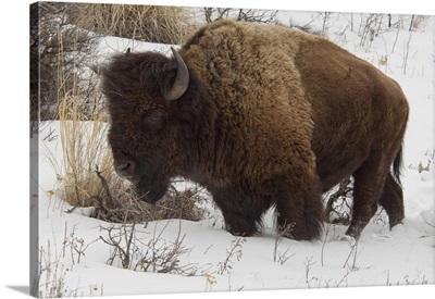 Wild Yellowstone Bison in winter