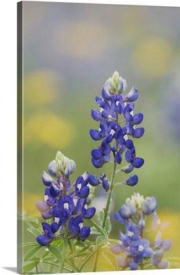 Wildflower field with Texas Bluebonnet, Comal County, Hill Country, Texas March