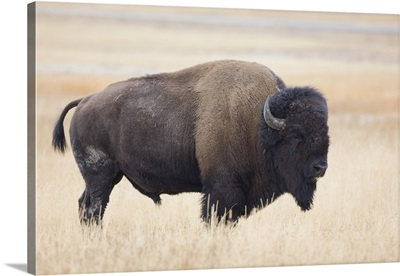 Wyoming, Yellowstone National Park, Bison bull in the Lamar Valley