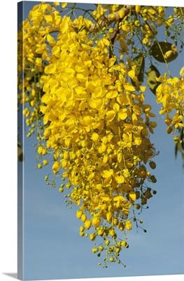 Yellow Poui (Cybistax donnell-smithii), Bonaire, Netherlands Antilles, Caribbean