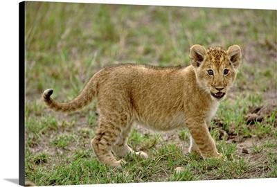 Young Lion Cub, Masai Mara Game Reserve, Kenya