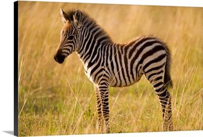 Young Plains Zebra (Equus Quagga) In Grass, Masai Mara National Reserve, Kenya