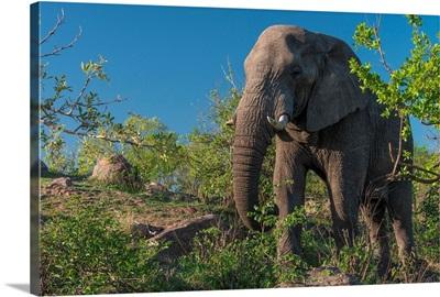 African Elephant In Kruger National Park