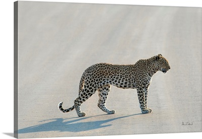African Leopard Pose On The Road