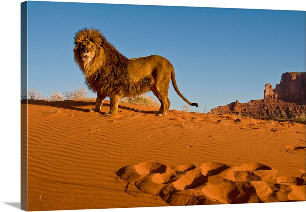 Captive Barbary Lion In Monument Valley Wall Art Canvas Prints Framed Prints Wall Peels Great Big Canvas
