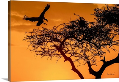Griffon Vultures Landing At Sunset, Masai Mara, Kenya, Africa
