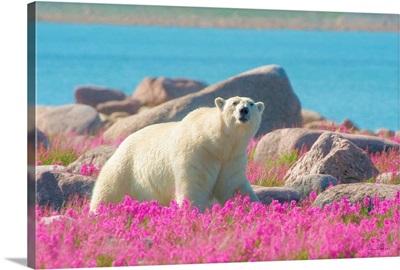 Lord Of The Arctic Polar Bear