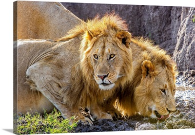 Male Lions Lapping At Scarce Water