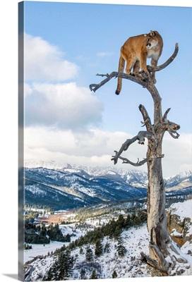 Mountain Lion On Dead Tree Perch