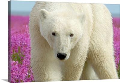 Polar Bear Confrontation Stare
