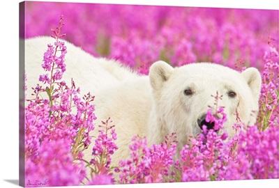 Polar Bear Playing Peekaboo