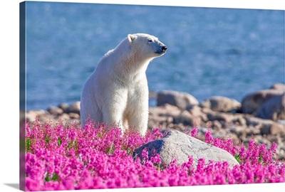 Pristine White Polar Bear  In Fireweed Landscape