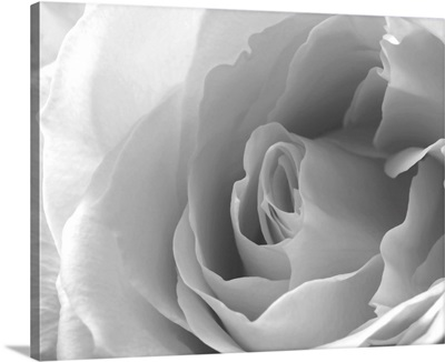 A Close Up White Rose In Black And White