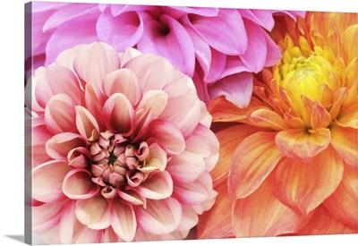 Beautiful Multicolored Dahlias Close-Up