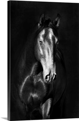Black Kladruby Horse Portrait In The Darkness
