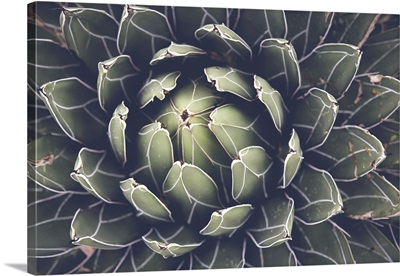 Close View Of Agave Succulent Plant