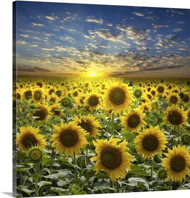 Field Of Flowerings Sunflowers On A Beautiful Sunset